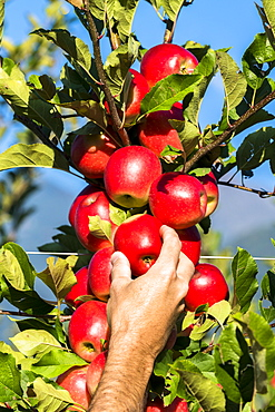 Hand of farmer man picking red apples from tree in the orchard, Valtellina, Sondrio province, Lombardy, Italy, Europe