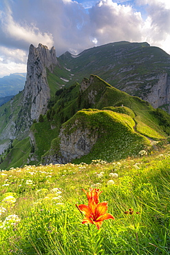 Red bellflower in the flowering meadows surrounding Saxer Lucke mountain, Appenzell Canton, Alpstein Range, Switzerland, Europe
