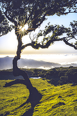 Laurel tree lit by sun rays at sunset, Fanal forest, Madeira island, Portugal - 1179-5166