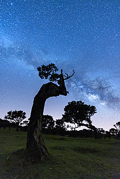 Milky Way in the night sky over tree trunks of Fanal forest, Madeira island, Portugal