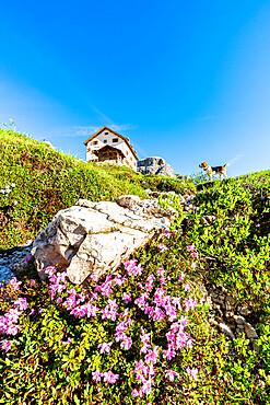 Cute Beagle dog in the flowering meadows surrounding Rifugio Zsigmondy Comici hut, Sesto Dolomites, South Tyrol, Italy