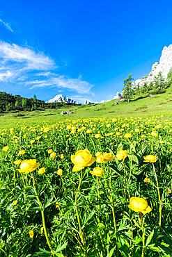 Globeflowers (Trollius europaeus) buttercup type flowers (Bottondoro) in the green meadows surrounding Cima dei Colesei peak, Sesto Dolomites, South Tyrol, Italy, Europe