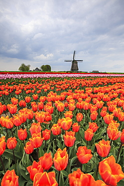 Spring clouds over fields of multicolored tulips and windmill, Berkmeer, Koggenland, North Holland, Netherlands, Europe