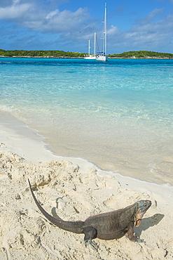 Iguana on a white sand beach, Exumas, Bahamas, West Indies, Caribbean, Central America