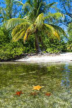 Starfish at Starfish point, Water Cay, Grand Cayman, Cayman Islands, Caribbean, Central America