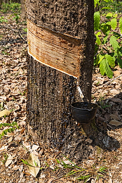 Rubber tree near Ye, Mon state, Myanmar (Burma), Asia
