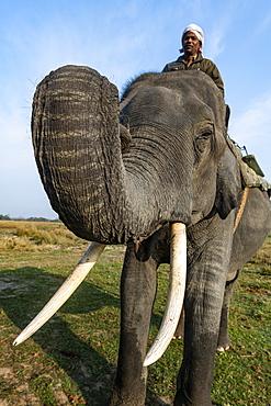Asian elephant (Elephas maximus), Kaziranga National Park, UNESCO World Heritage Site, Assam, India, Asia