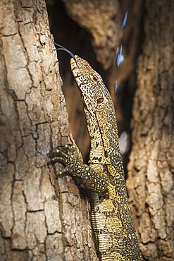Nile Monitor (Varanus Niloticus), Zambia, Africa