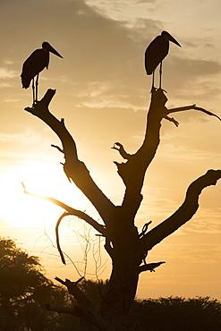Marabou Stork (Leptoptilos crumenifer), Uganda, Africa