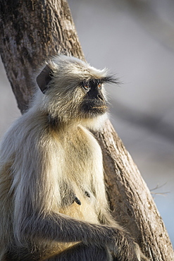 Langur monkey (Semnopithecus entellus), Rajasthan, India, Asia