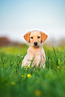 Golden Labrador puppy sitting in a field of buttercups, United Kingdom, Europe