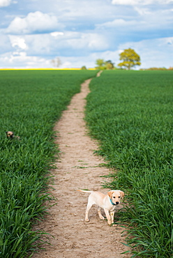 Golden Labrador puppy standing in a field, United Kingdom, Europe