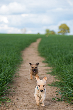 Golden Labrador puppy playing with a Border Terrier in a field, United Kingdom, Europe