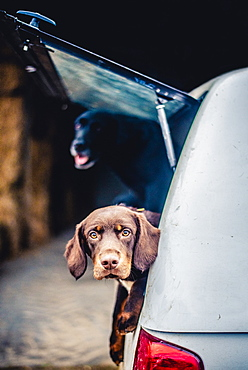 Spaniel with its head poking out of the boot of a car, United Kingdom, Europe