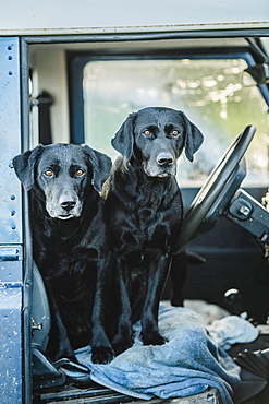 Two black labradors waiting in the front seat of a Land Rover, United Kingdom, Europe