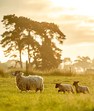 Sheep followed by her lambs in spring, United Kingdom, Europe