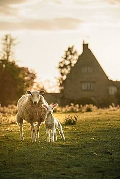 Young lamb and mother with the farmhouse in the background in Oxfordshire, England, United Kingdom, Europe