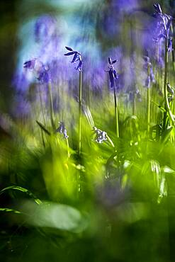 Bluebells in a Bluebell Wood in Oxfordshire, England, United Kingdom, Europe