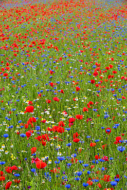 Wildflower meadow of poppies and cornflowers, Monte Sibillini Mountains, Piano Grande, Umbria, Italy, Europe