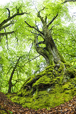 Common beech (Fagus sylvatica) tree in spring, Exmoor National Park, North Devon, England, United Kingdom, Europe