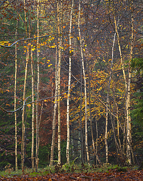 Silver birch (Betula pendula) trees, autumn colour, King's Wood, Challock, Kent, England, United Kingdom, Europe