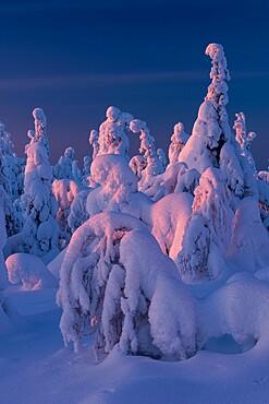 Snow covered winter landscape at sunset, tykky, Kuntivaara Fell, Kuusamo, Finland, Europe