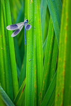Banded Demoiselle (Calopteryx splendens) damselfly covered with dew, Kent, England, United Kingdom, Europe