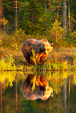 Eurasian brown bear (Ursus arctos arctos) in evening sunlight, reflected in lake, Kuhmo, Finland, Europe