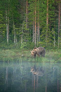 Eurasian brown bear (Ursus arctos arctos) in morning mist, reflected in lake, Kuhmo, Finland, Europe - 1200-455