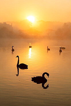 Black swan (Cygnus atratus), at sunrise, Kent, England, United Kingdom, Europe - 1200-458