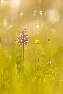 Green-winged orchid (Orchis morio) flowering, growing on meadow in evening sunlight, Marden Meadow Nature Reserve, Kent, England, United Kingdom, Europe