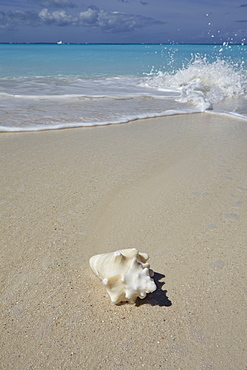 A conch shell on the shore in Grace Bay, Providenciales, Turks and Caicos in the Caribbean, West Indies, Central America