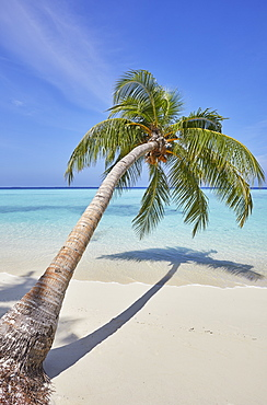 A tropical island beachside coconut palm; Gaafu Dhaalu atoll, in the far south of the Maldives, Indian Ocean.