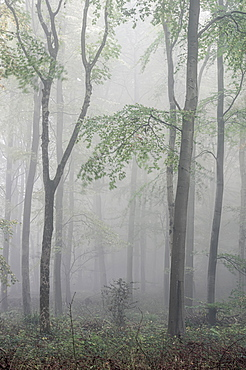 Fifty Acre Wood in mist at dawn, Leigh Woods, Bristol, England, United Kingdom, Europe