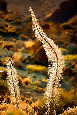 Teide National Park, UNESCO World Heritage Site, Tenerife, Canary Islands, Spain, Europe