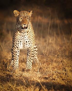 Female leopard hunting in the Masai Mara, Kenya, East Africa, Africa