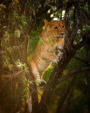 Lion cub in a tree, Masai Mara, Kenya, East Africa, Africa