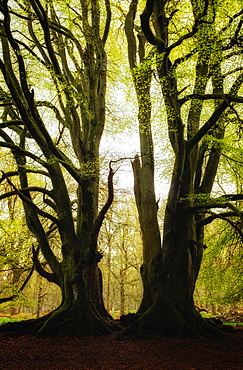 Two symmetrical trees, Kinclaven Bluebell Forest, Scottish Highlands, Scotland, United Kingdom, Europe