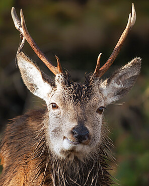 Smiling young red deer stag, Glencoe, Scottish Highlands, Scotland, United Kingdom, Europe