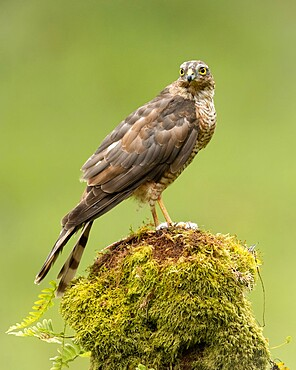 Sparrowhawk on moss covered tree, Scotland, United Kingdom, Europe