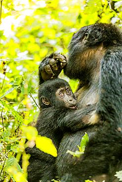 Mountain Gorillas in Bwindi Impenetrable Forest National Park, UNESCO World Heritage Site, Uganda, East Africa, Africa