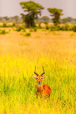 Antelope in Queen Elizabeth National Park, Uganda, East Africa, Africa