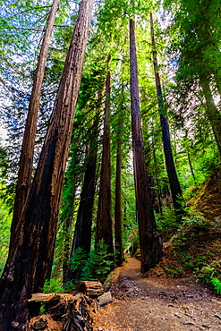 Beautiful giant redwoods, Big Sur, California, United States of America, North America