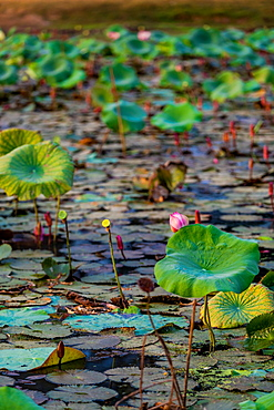 Lily pads floating in the Mekong Delta, Cambodia, Indochina, Southeast Asia, Asia