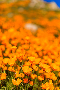 California Superbloom, Poppy fields of Lake Elsinore, California, United States of America, North America