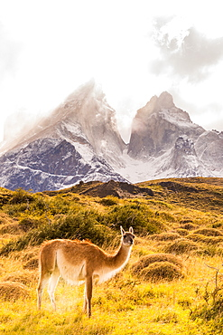Guanaco posing in the wild of Torres del Paine National Park, Patagonia, Chile, South America