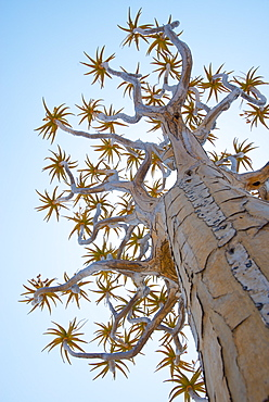 A Quiver Tree gets its name from the San people who used the tubular branches to form quivers for their arrows, near Keetmanshoop, Karas Region, Namibia, Africa