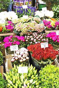 Flowers for sale in the Bloemenmarkt (flower market), Amsterdam, North Holland, The Netherlands, Europe