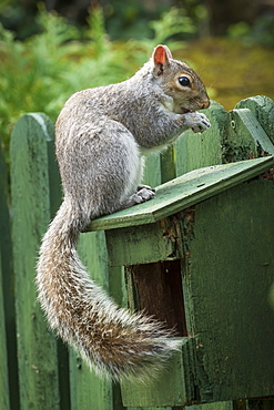 A Grey Squirrel photographed at a garden bird feeder in York, North Yorkshire, England, United Kingdom, Europe