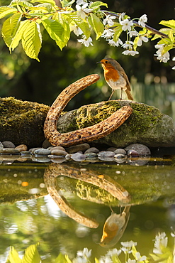 Robin photographed at a garden pond in North Yorkshire, England, United Kingdom, Europe